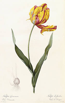 Bright Drawing - Tulip by Pierre Joseph Redoute