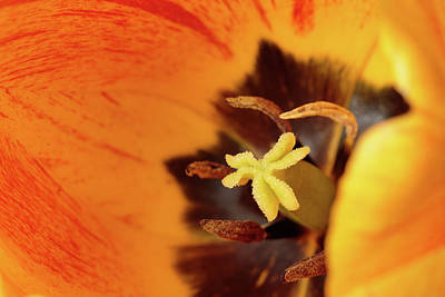 Photograph - Tulip by Rodger Werner