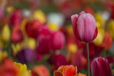 Photograph - Tulips by Angie Vogel