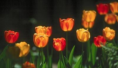 Photograph - Tulips by Douglas Pike