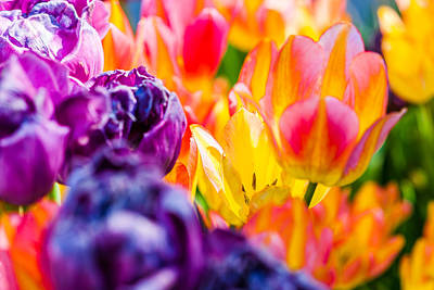 Photograph - Tulips Enchanting 39 by Alexander Senin