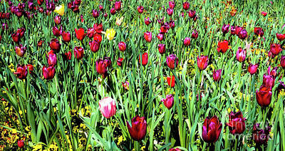 Photograph - Tulips In Bloom by D Davila
