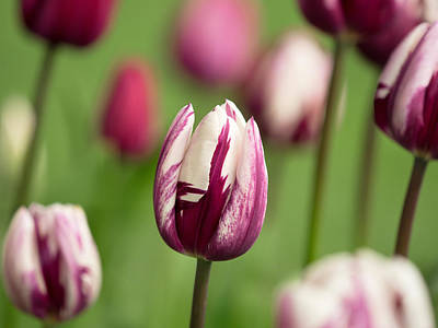 Photograph - Tulips by Kyle Wasielewski
