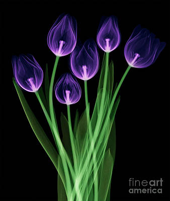 Photograph - Tulips, X-ray by Ted Kinsman