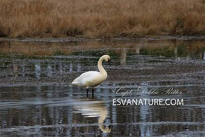Photograph - Tundra Swans 0231 by Captain Debbie Ritter