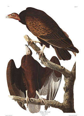 Buzzard Wall Art - Painting - Turkey Buzzard by John James Audubon