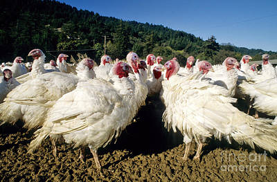 Turkey Flock Art Print by Inga Spence