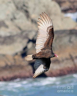 Bif Photograph - Turkey Vulture In Flight by Wingsdomain Art and Photography