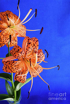 Photograph - Turks Cap Lily Flowers On Blue Textured Background by Vizual Studio