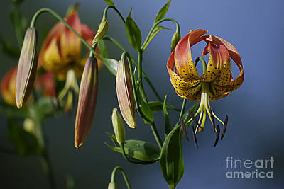 Photograph - Turk's Cap Lily by Randy Bodkins