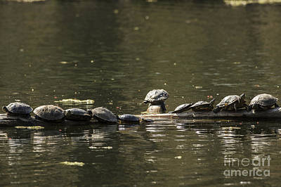 Photograph - Turtles Sunning by JT Lewis