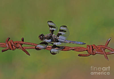 Photograph - Twelve-spotted Skimmer by Gary Wing