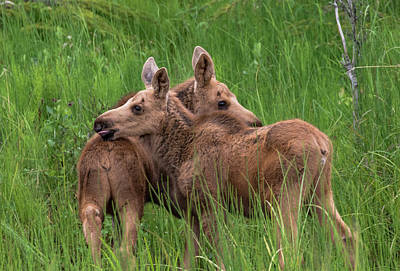 Twin Baby Moose Art Print