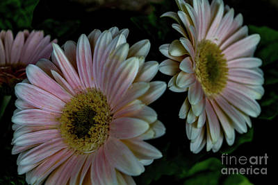 Photograph - Twin Daisies by William Norton