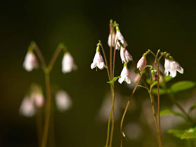 Twinflower Art Print by Jouko Lehto