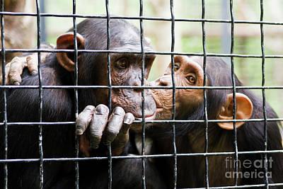 Photograph - Two Chimpanzee Kissing In Cave by Irina Afonskaya