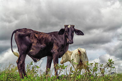 Photograph - Two Cows by Patricia Hofmeester