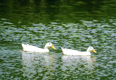 Photograph - Two Ducks by Brian Kinney