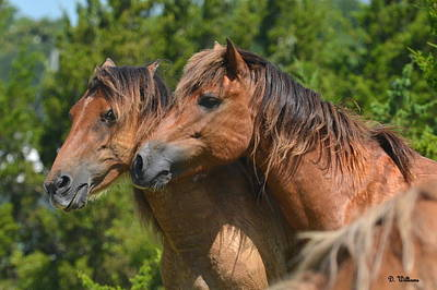 Photograph - Two Island Ponies by Dan Williams