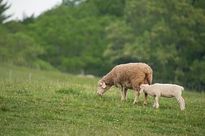 Photograph - Two Lambs by Joye Ardyn Durham