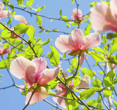 Photograph - Two Magnolia Flowers  by Irina Afonskaya