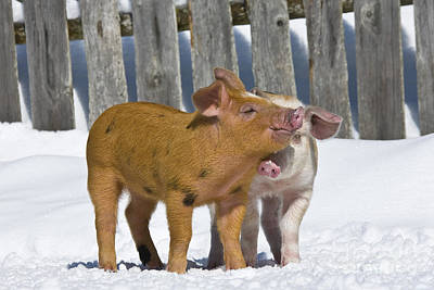 Litter Mates Photograph - Two Piglets Playing by Jean-Louis Klein & Marie-Luce Hubert
