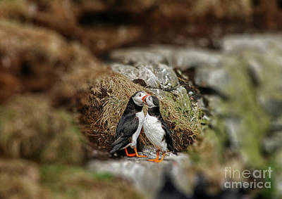 Photograph - Two Puffins In Love by Patricia Hofmeester