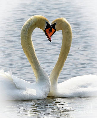 Photograph - Two Swans And A Heart by Colin Rayner