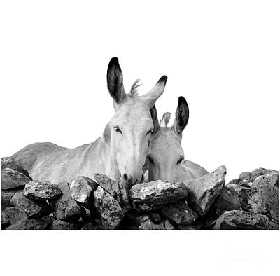 Photograph - Two White Irish Donkeys by RicardMN Photography