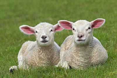 Photograph - Two White Lambs by Arterra Picture Library