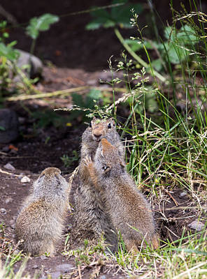 Photograph - Uinta Ground Squirrel Family by Michael Chatt