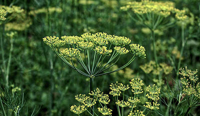 Photograph - Umbrella Dill by Tortic84