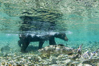 Nature Of Bear. Nature Of Bear In Water.grizzly Photograph - Underwater View Of Coastal Brown Bear by Paul Souders