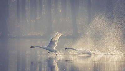 Swans Photograph - Untitled by Brice Le Gall