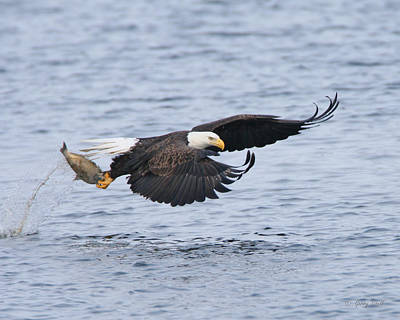Eagle In Flight Photograph - Up Up And Away by Gerry Sibell