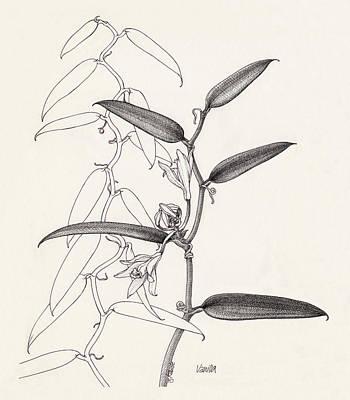 Drawing - Vanilla by Judith Kunzle