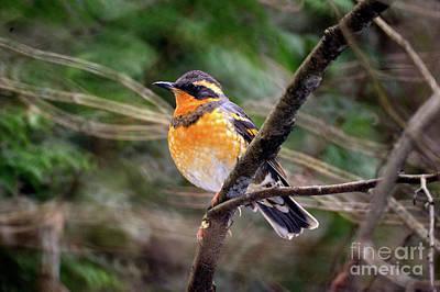Photograph - Varied Thrush Bird - 1 by Terry Elniski