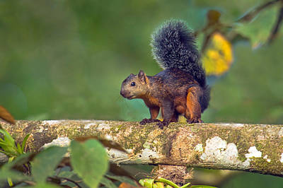 Variegated Photograph - Variegated Squirrel Sciurus by Panoramic Images