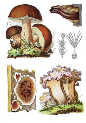 Cauliflower Drawing - Various Mushrooms by Heinz Tschanz-Hofmann