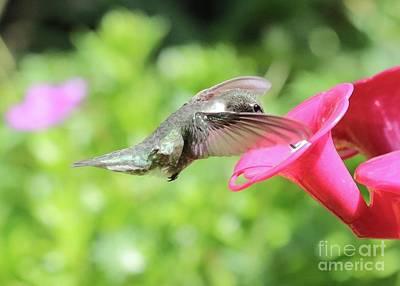Photograph - Veiled Hummingbird by Carol Groenen