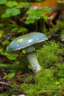 Agaricales Photograph - Verdigris Agaric by Steen Drozd Lund