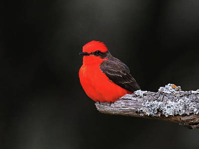 Photograph - Vermilion Flycatcher by Bob Zeller
