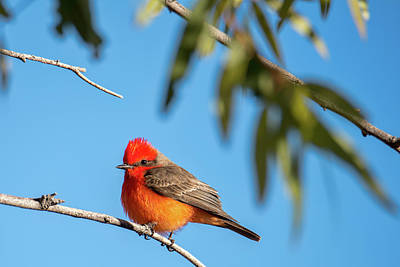 Photograph - Vermilion Flycatcher by Dan McManus