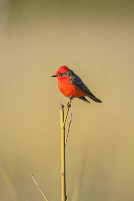 Photograph - Vermilion Flycatcher by Kathy Adams Clark