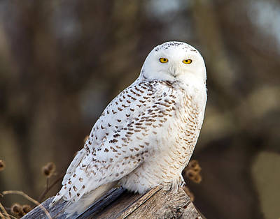 Photograph - Vermont Snowy Owl by John Vose