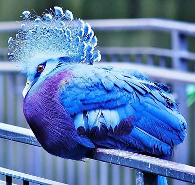Art Print featuring the photograph Victoria Crowned Pigeon by Al Fritz