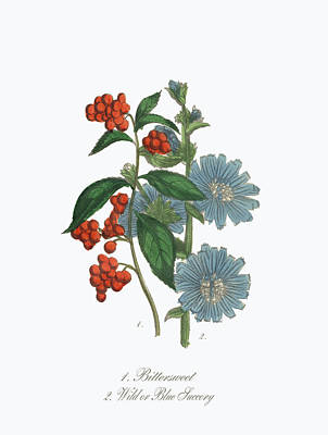 Victorian Botanical Illustration Of Bittersweet And Blue Succory Art Print by Peacock Graphics