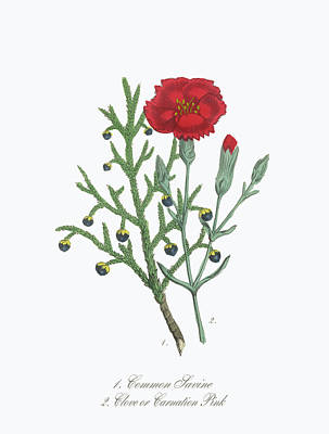 Carnation Drawing - Victorian Botanical Illustration Of Savine And Clove Or Carnation by Peacock Graphics