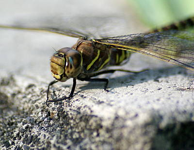 Photograph - Vince The Dragonfly by Ben Upham III