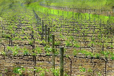 Photograph - Vineyard In The Spring by Brandon Bourdages
